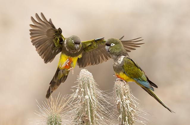 LORO TRICAHUE (Cyanoliseus patagonus bloxami). Burrowing Parrot.
