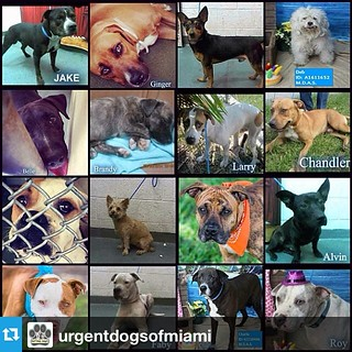 #Repost from @urgentdogsofmiami  ---  Rest in peace, sweet angels. We are so sorry we failed you In loving memory of the over 100 beautiful perfectly adoptable shelter pets who just lost their lives at Miami Dade Animal Services because nobody came to sav