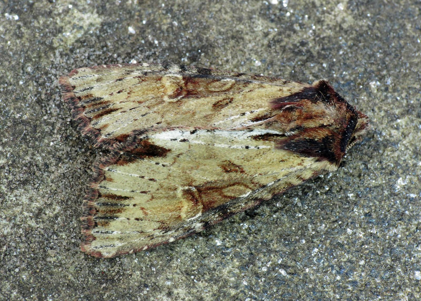 73.156 Clouded-bordered Brindle - Apamea crenata
