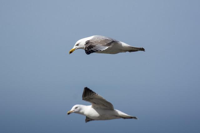 Two flying gulls