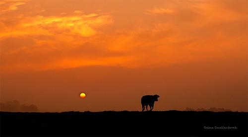 reinasmallenbroek orange oranje koe cow sunrise zonsopkomst silhouette