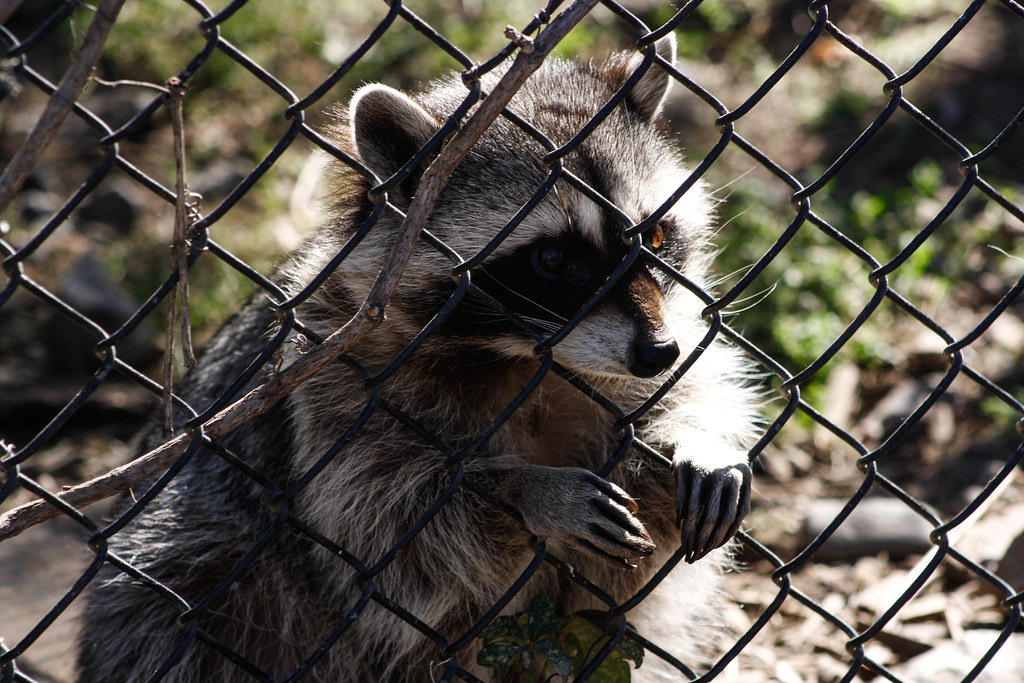 Raccoon face jpg | Watching the world go by     | Kasandra