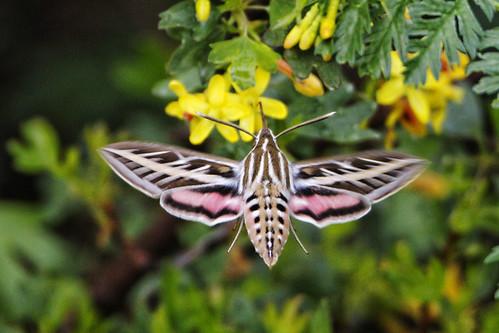 urban usa nature colorado wildlife moth aurora urbannature sphinxmoth allrightsreserved hummingbirdmoth cherrycreekstatepark whitelinedsphinxmoth ef500mmf4lis canon5dmkiii z5a1110dxo ef20xtciii dxoopticspro91 copyright2014davidcstephens 05242014