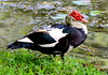 Pato-do-mato ou Patão (Cairina moschata) - Muskovy duck by Roberto Harrop
