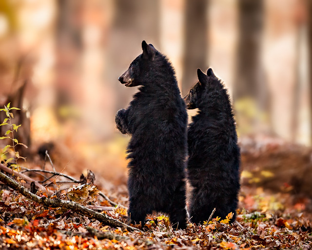 Curious Bear Cubs