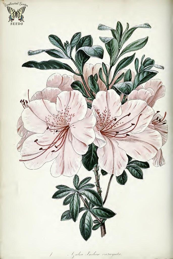 Southern Indica Azalea Var Variegata Rhododendron Indi Flickr
