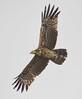 African Harrier Hawk (Gymnogene) Vineyard Hotel Cape Town tagged by peterleanranger