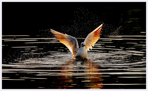 Back lit seagull on London docks..