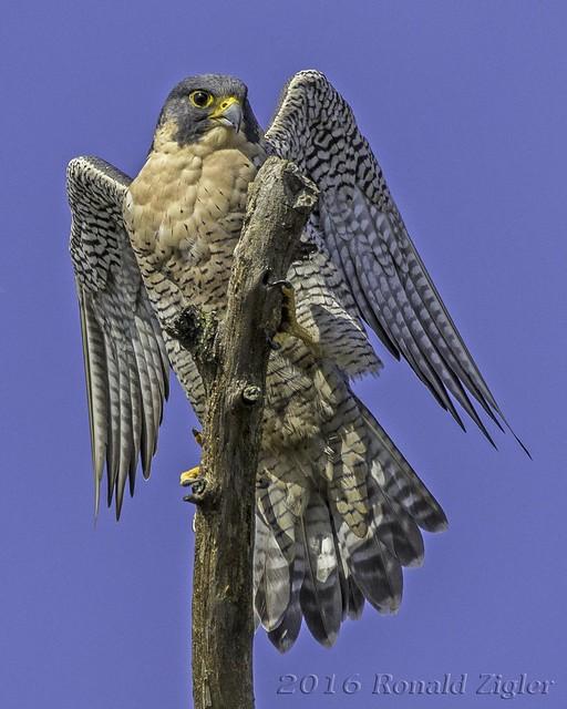 Peregrine Falcon IMG_5038