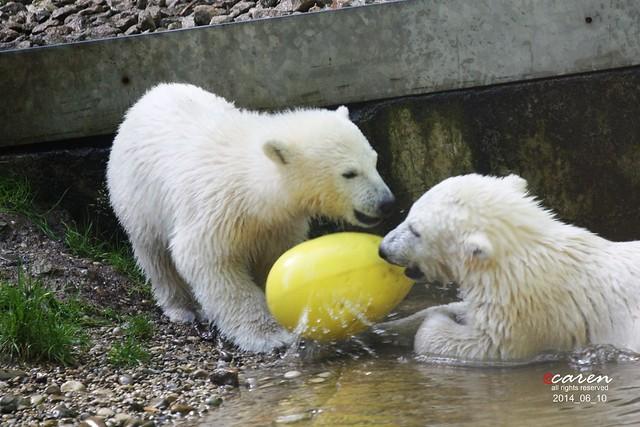 Eisbärenbabys Nela&Nobby 2014_06_10 144