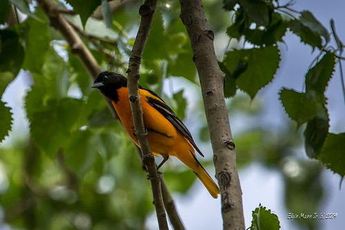 Oriole | by the Lone Wolf Photographer