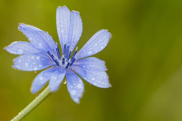 Flor Achicoria