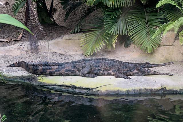 Zoo Leipzig: Sunda-Gavial -  False gharial (Tomistoma schlegelii)