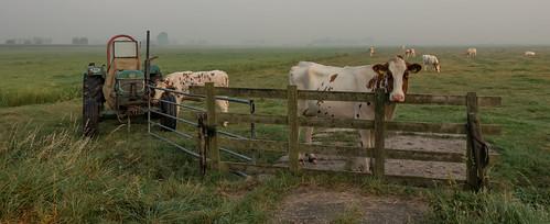 cows fence fog grassland makeshiftfence tractor hff nederlandvandaag fencefriday landscape
