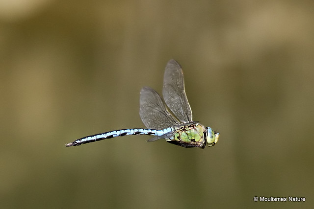 IMG_0300. EMPEROR DRAGONFLY (Anax imperator) male