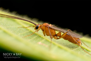 Winged ant (Diacamma sp.) - DSC_2109