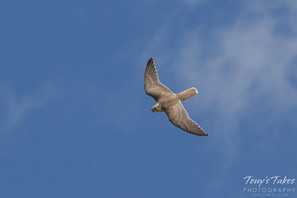 Prairie Falcon performs high altitude dive