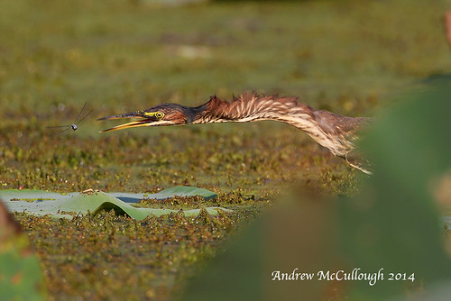 birds texas brazosbend greenheron texasbirds featheryfriday slbhunting 18v6924