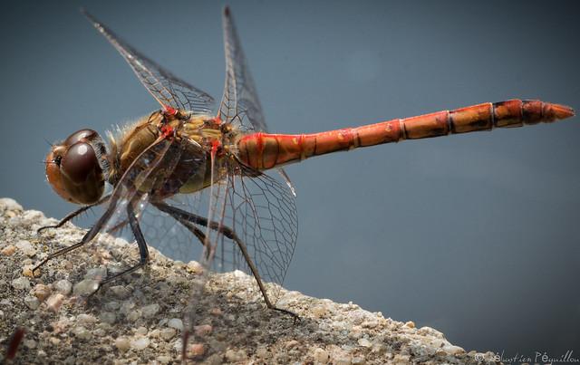 Libellule - Dragonfly - Libélula