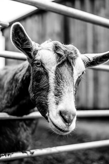 Goat | by RobertMPoole