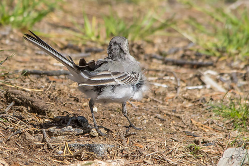 Juvenile White Wagtail (Motacilla alba) with the feathers ruffled by the wind-4 | by Stein Arne Jensen