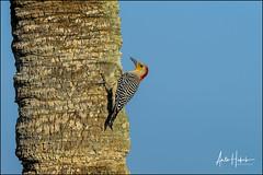 red-bellied woodpecker, viera wetlands