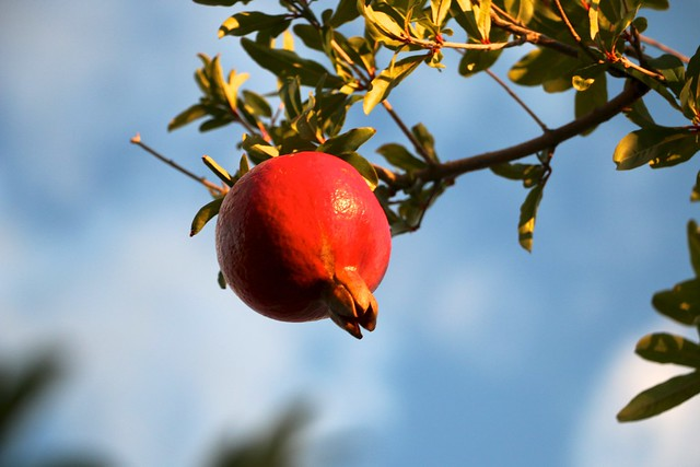 Pomegranate Branch and Fruit...