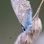 Evening Common Blue
