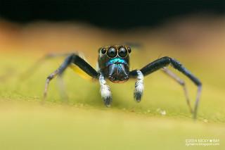 Jumping spider (Phintella sp.) - DSC_4037