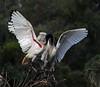 Australian white ibis Threskiornis moluccus by Maureen Pierre