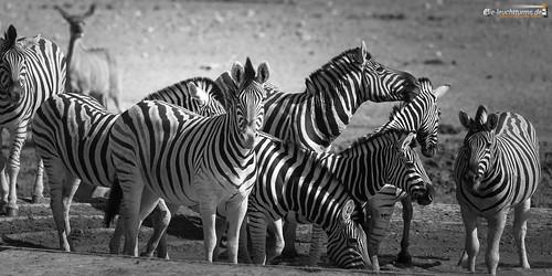 2x1 africa afrika equidae equusquagga etoshanationalpark namibia perissodactyla pferde steppenzebra säugetiere unpaarhufer vertebrata vertebrates wirbeltiere mammals monochrome kunene renostervlei