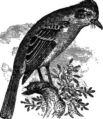 """Image from page 477 of """"Key to North American birds. Containing a concise account of every species of living and fossil bird at present known from the continent north of the Mexican and United States boundary, inclusive of Greenland and Lower California, 