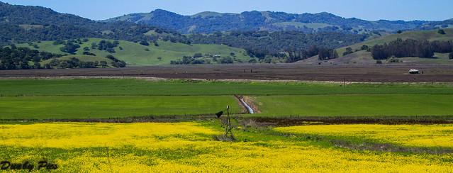 Mustard Grass Landscapes - Petaluma Farmland