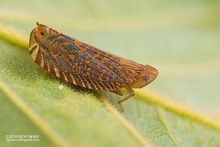 Lophopid Planthopper (Lophopidae) - DSC_3762