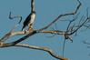 Accipiter superciliosus by jquental