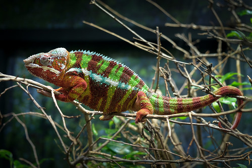 Chameleon | by Ed Rosack