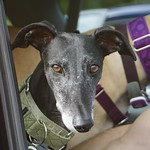 Greyhound Adventures at Hopkinton State Park, Hopkinton MA, Sept 21st 2014