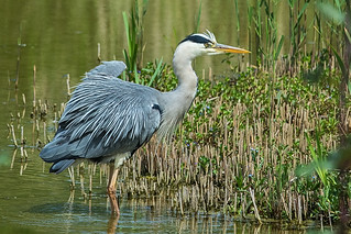 Heron 003 | by richardf55