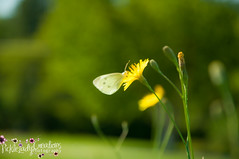 Cabbage White Butterfly-6991