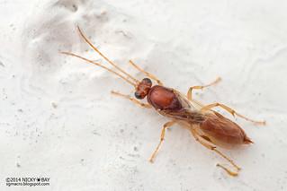 Winged Ant (Ponerini) - DSC_2792