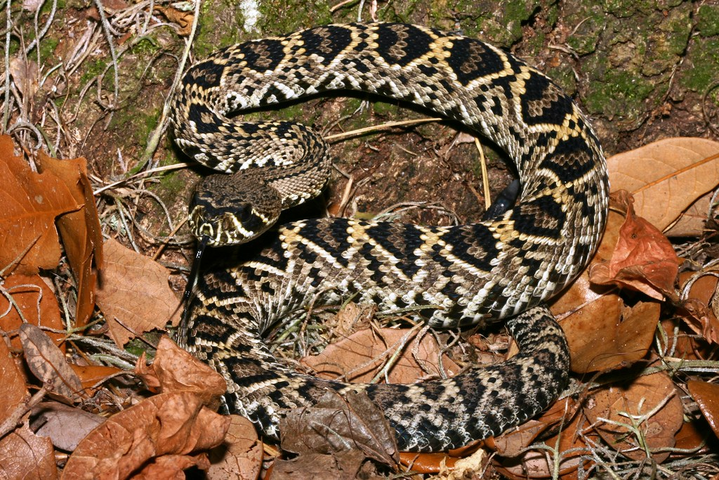 Eastern diamondback rattlesnake | Scientific name: Crotalus