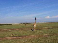 Jirafas cruzando las llanuras del Masai Mara