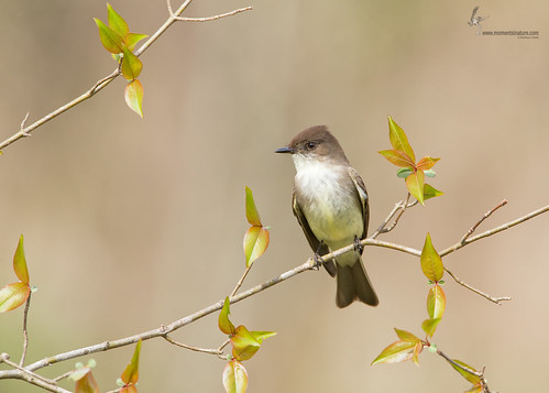 Eastern Phoebe | by www.momentsinature.com