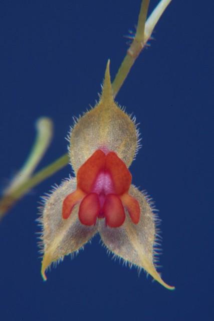 Lepanthes pulcherrima