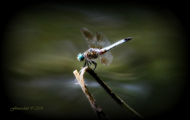 Dreamy Dragonfly ~ Brightwaters Village ~ Long Island, New York