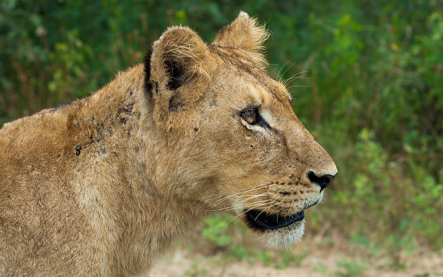 Lonely Lion in the wild, Kruger Park South Africa