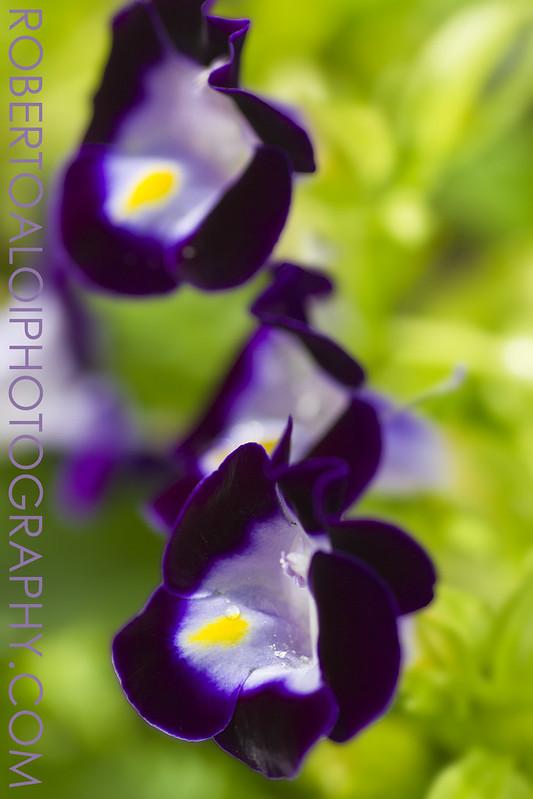 Torenia - Summer Pansy