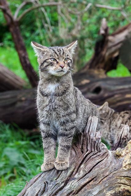 Wildcat Kitten looking puzzled