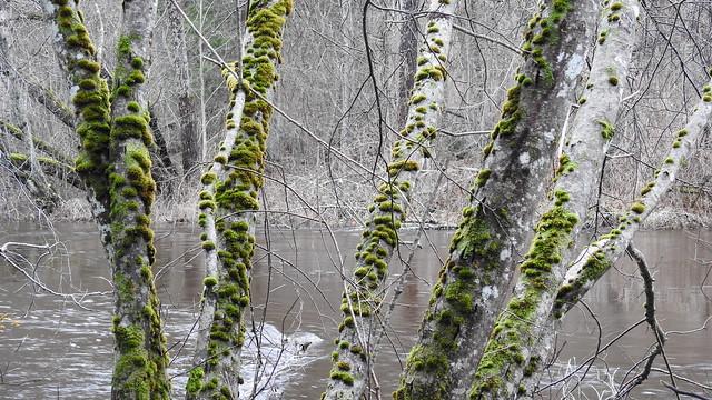 Halliste jõgi. Moss Covered Trees.