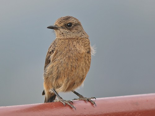 bird fauna female canon eos rebel kiss 300mm tele pied x4 550d bushchat piedbushchat saxicolacaprata canonef300mmf4lisusm t2i saxicolacapratanilgiriensis nilgiriensis